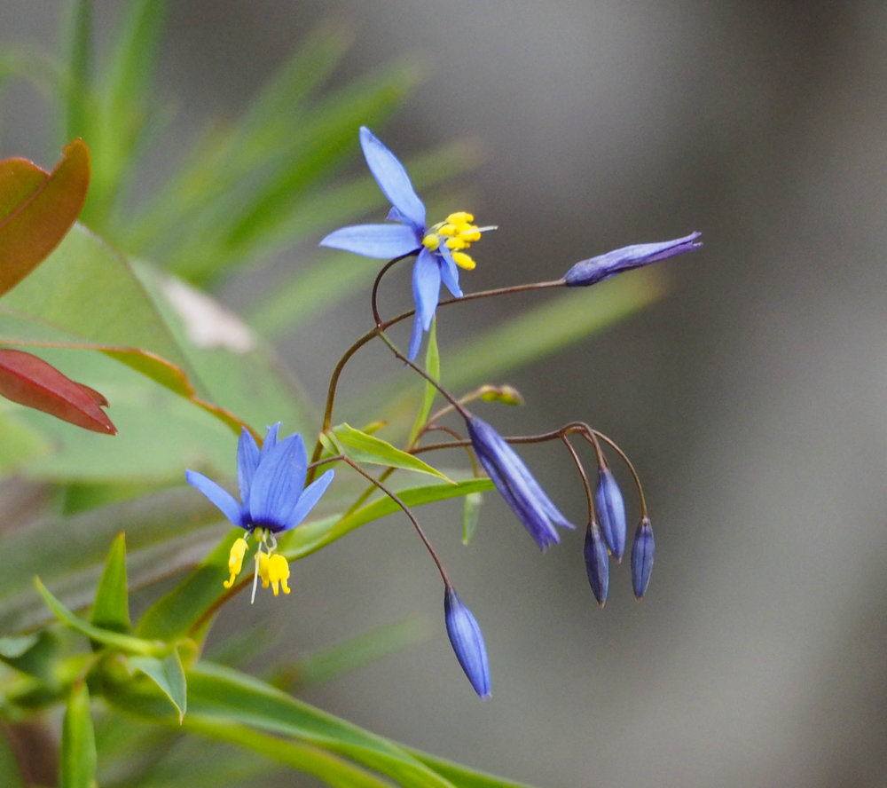 Blue Flax-lily