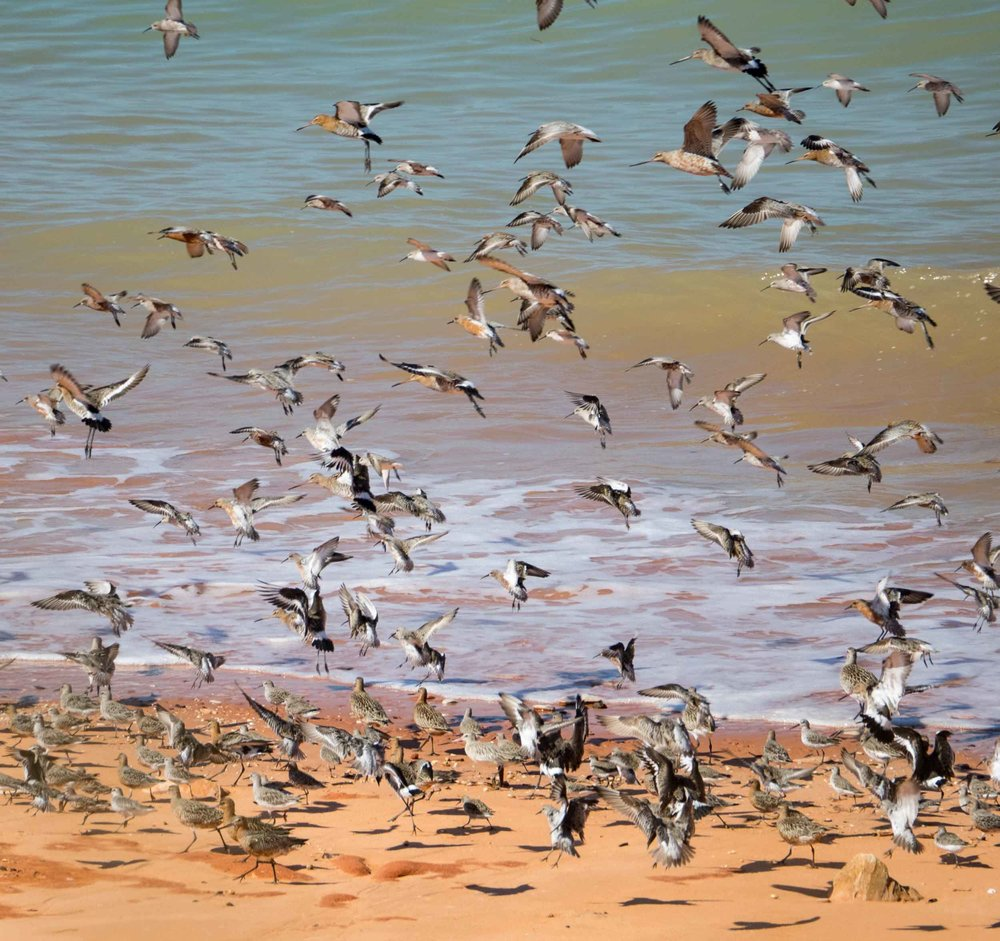 Migratory shorebirds