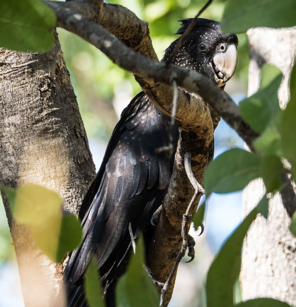 Red-tailed Black-Cockatoo (female)