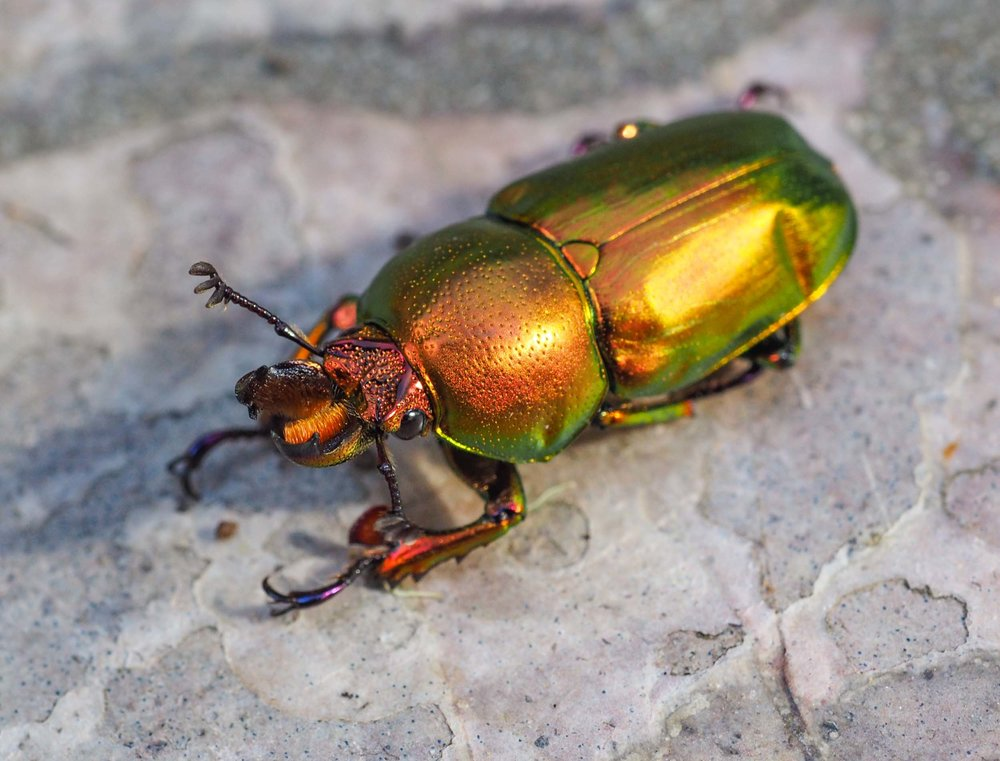 Golden Stag Beetle (male)