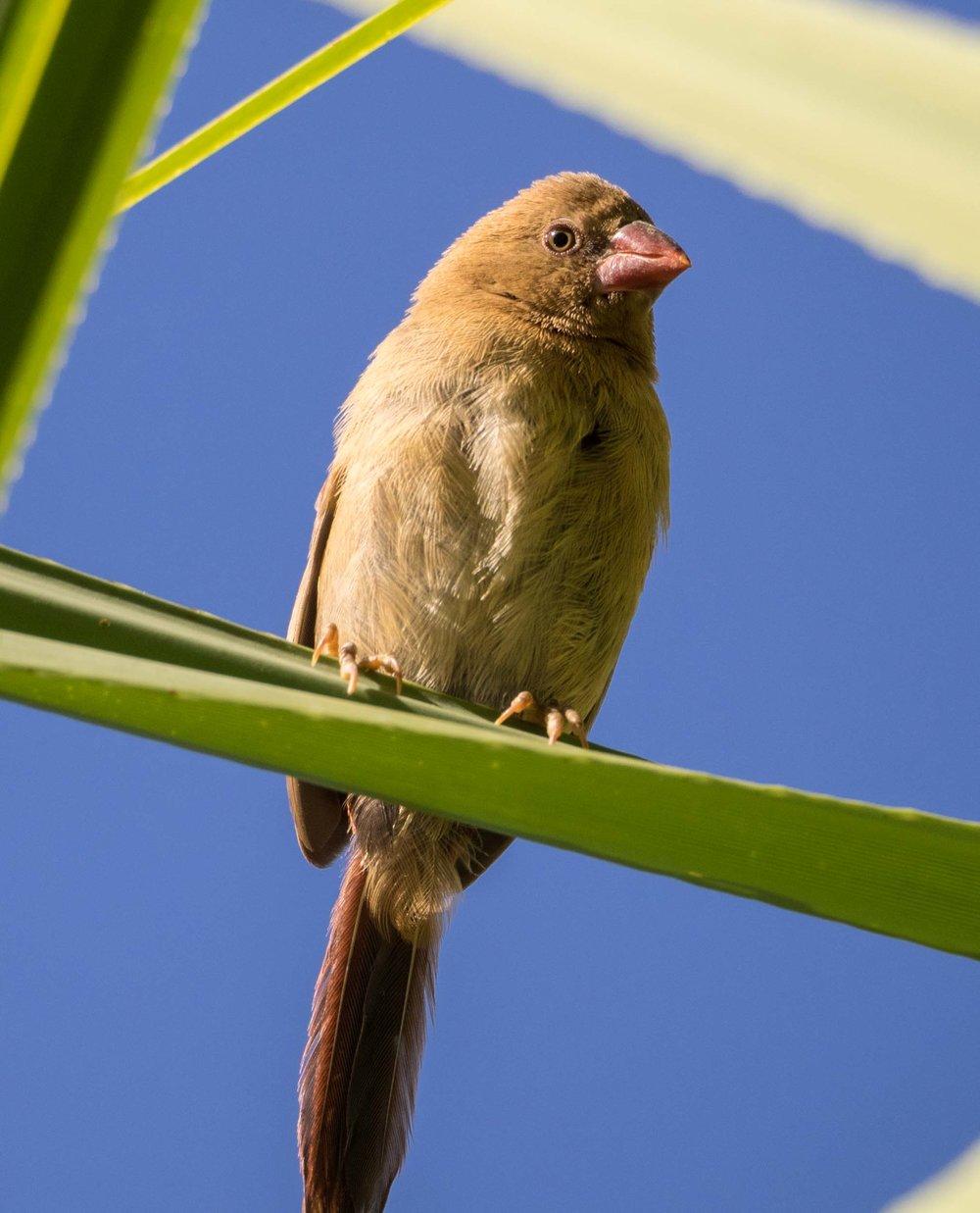 Crimson Finch (juvenile)