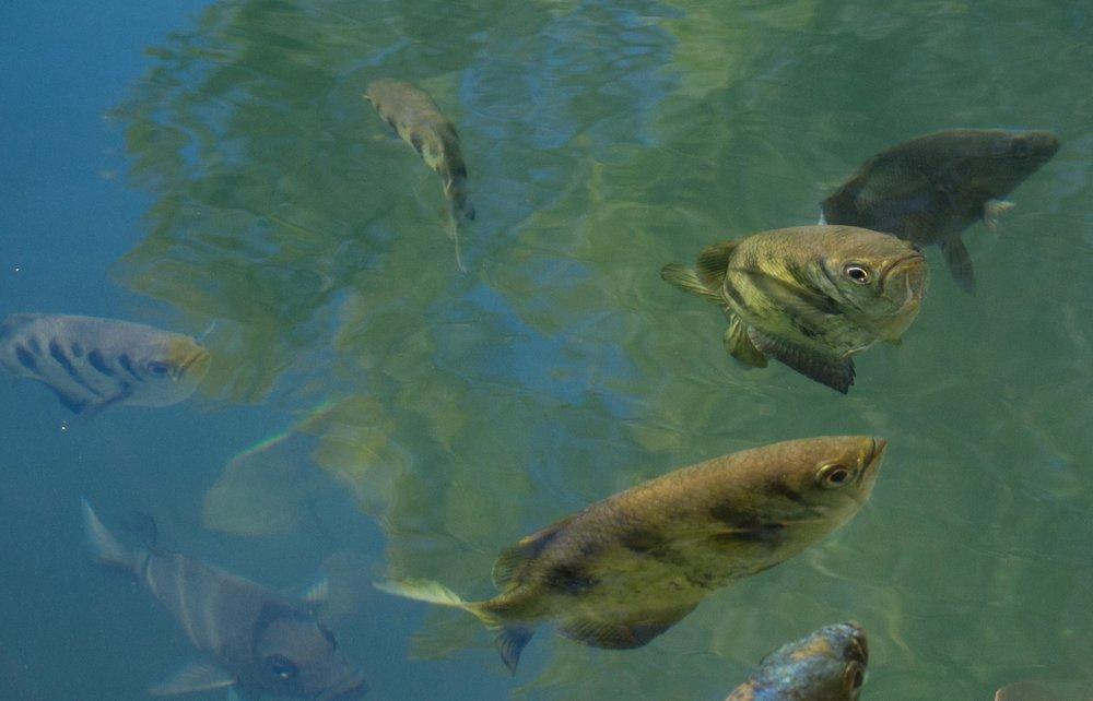 Seven-spot Archerfish