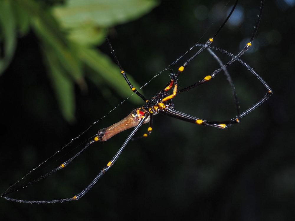 Tropical Golden Orb-weaver (female)