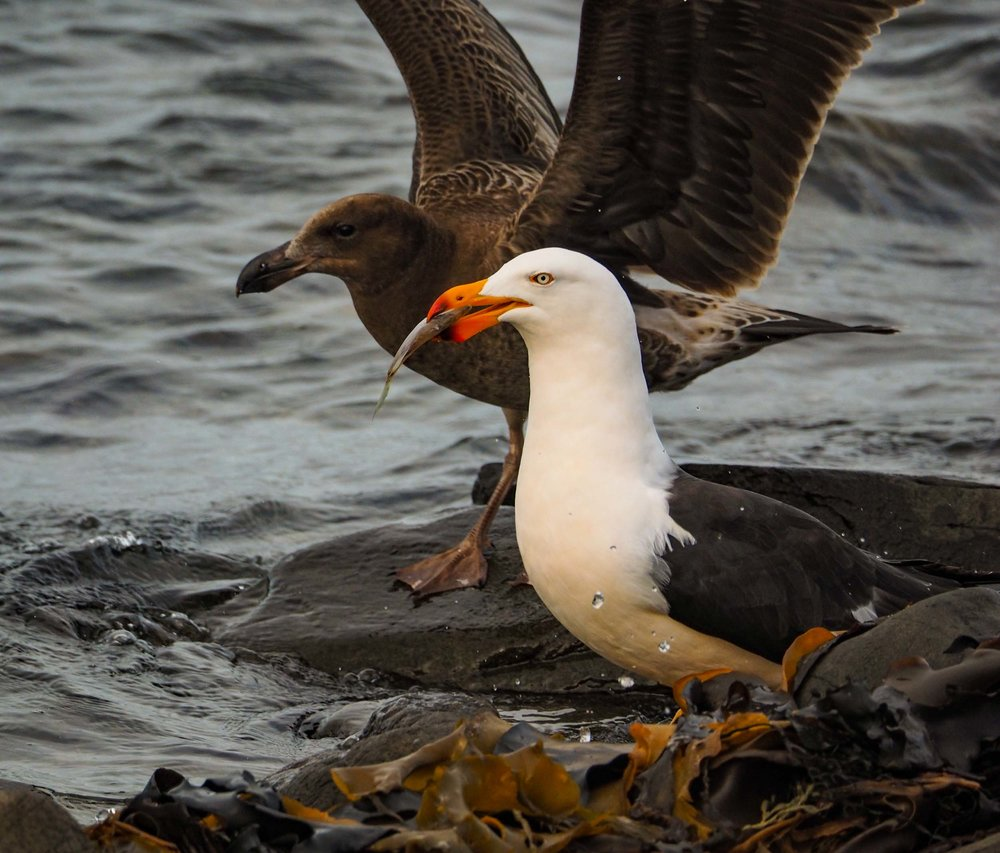 Pacific Gull (adult & juvenile)