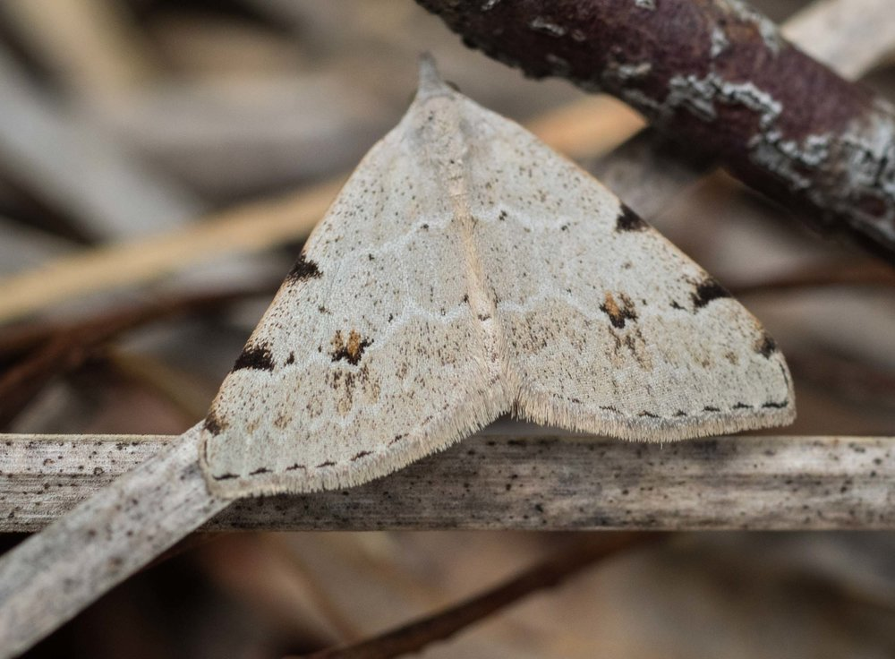 Pale Grey Heath Moth