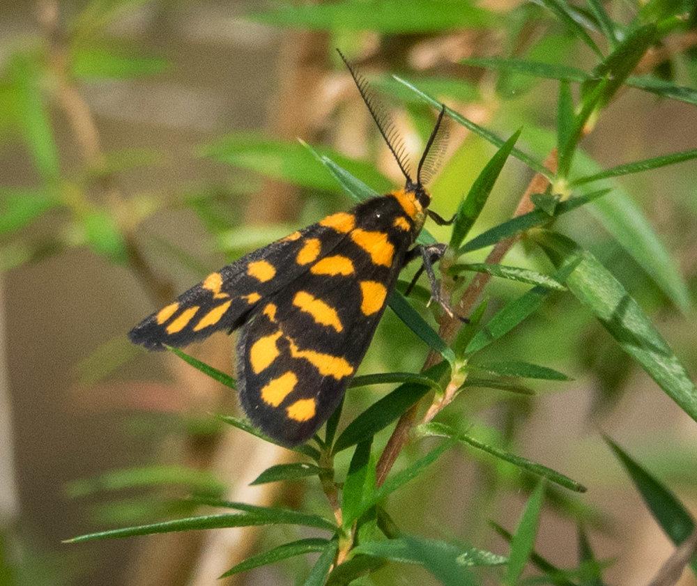 Lydia Lichen Moth