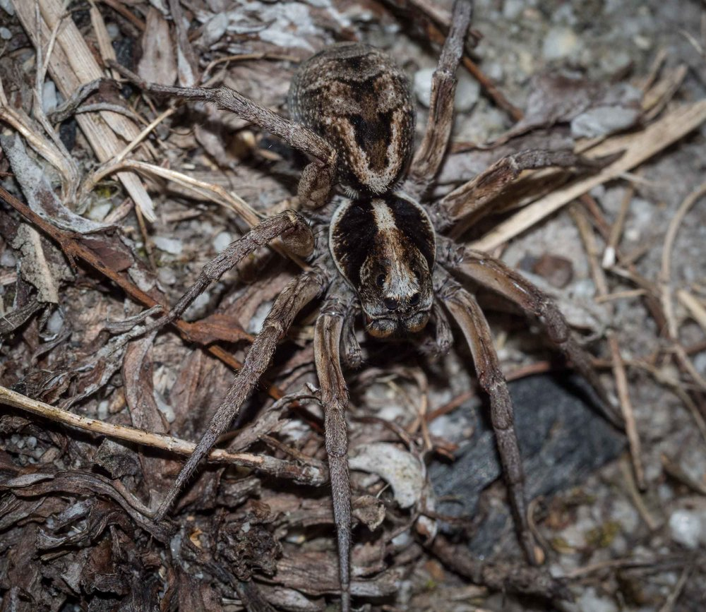 Union-Jack Wolf spider