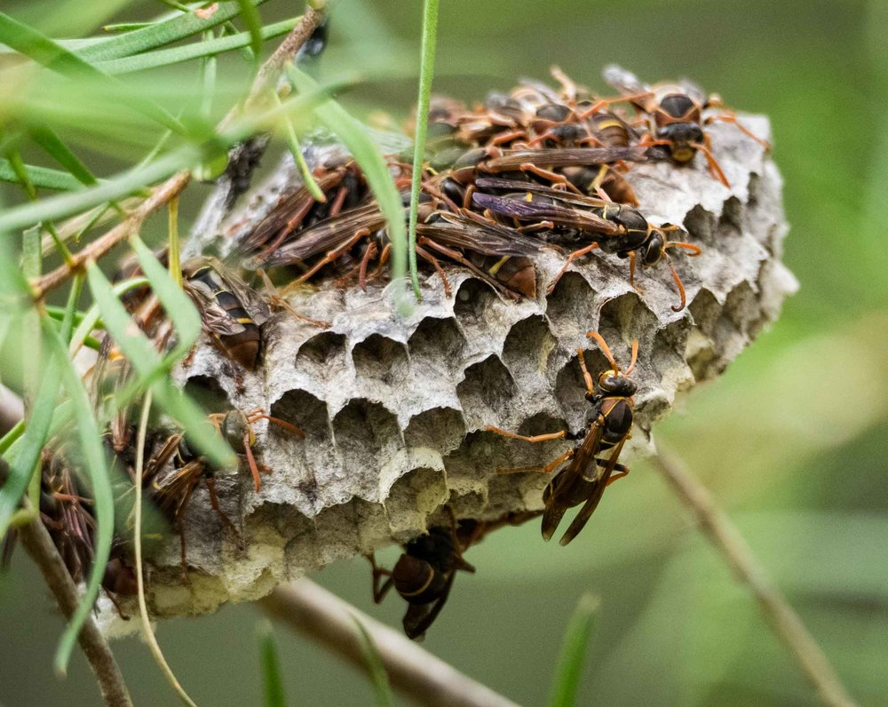 Common Paper Wasps