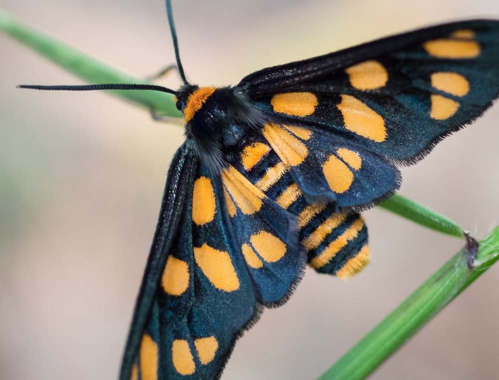 Spotted Tiger Moth