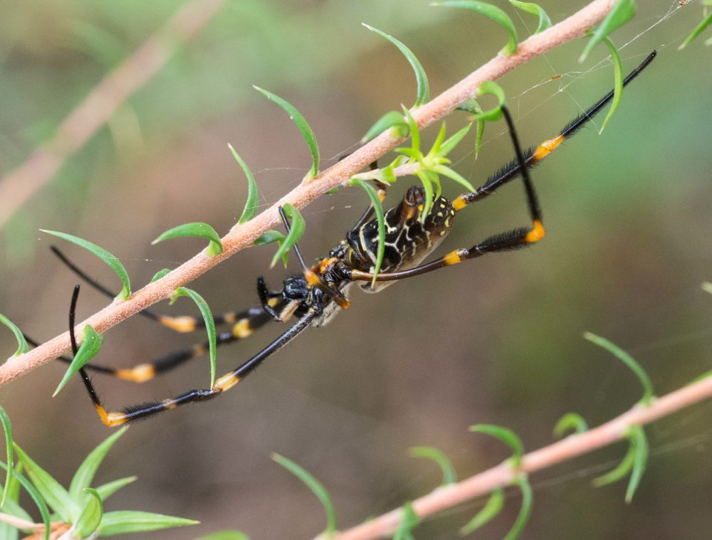 Eastern Golden Orb-weaver