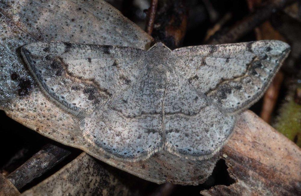 Spring Taxeotis