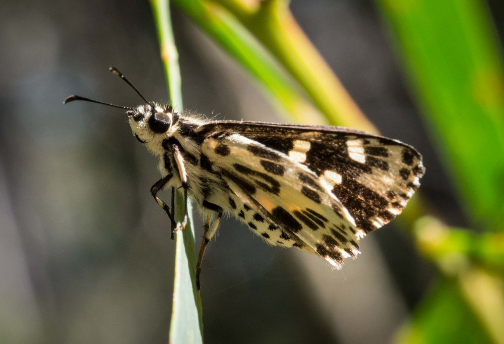 Spotted Sedge Skipper