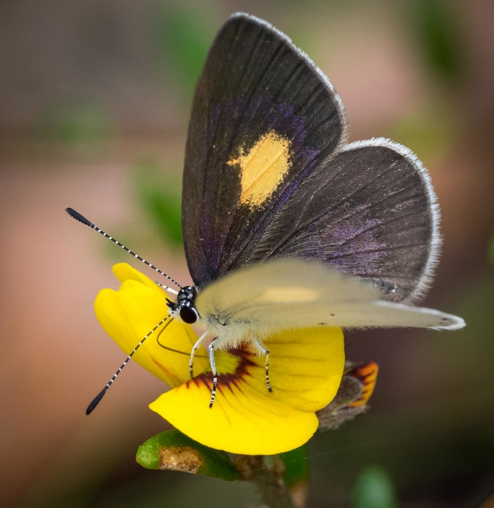Yellow-spot Blue (male)