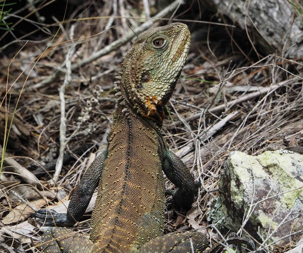 Eastern Water-dragon