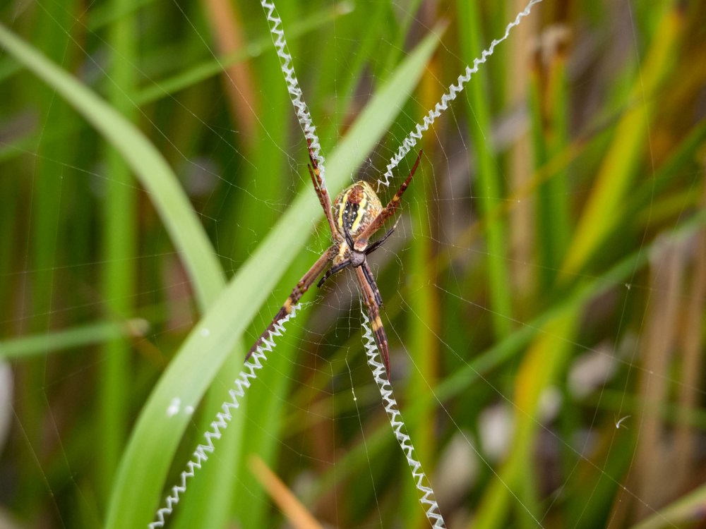 This photo shows the size difference between the female - here seen from the belly side - and the male, which is only 5mm long. The white X-shaped structure at the centre of the web is called a  stabilimentum . Its function is controversial - there is some evidence that it highlights the web to prevent birds from accidentally flying into it.
