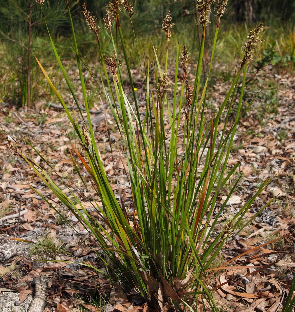 Coast Sword Sedge