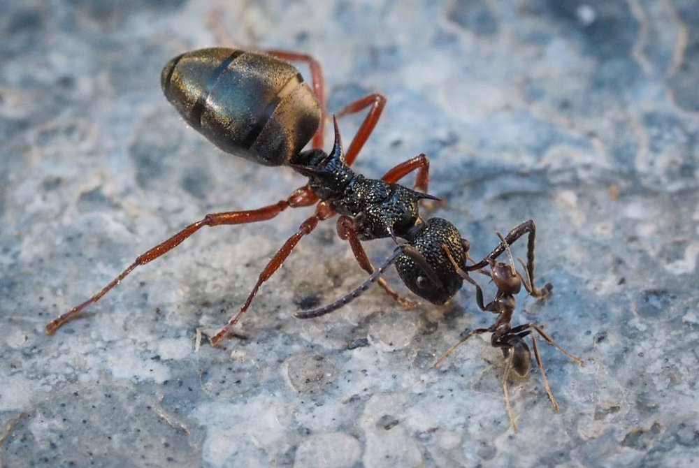 Spiny Dolly Ant vs Black Tyrant Ant