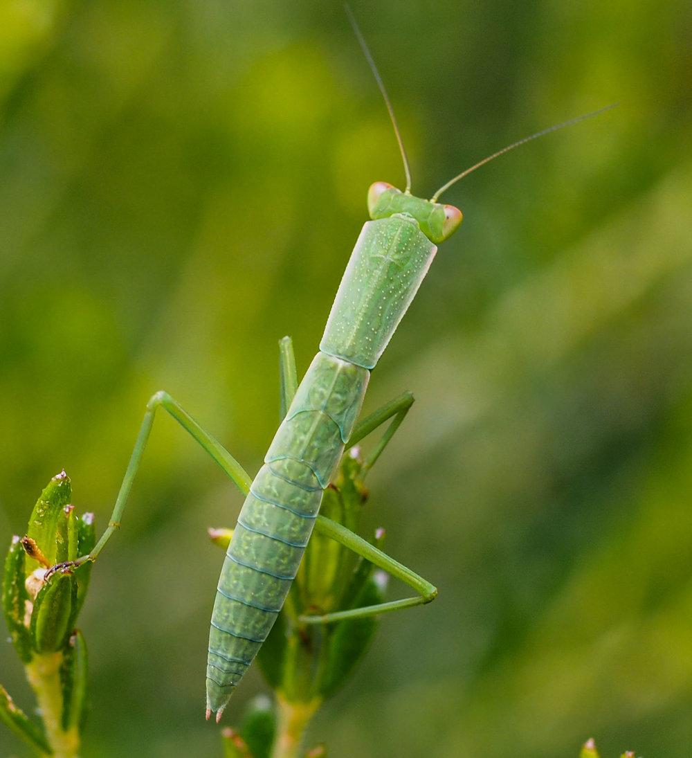 Australian Green Mantis