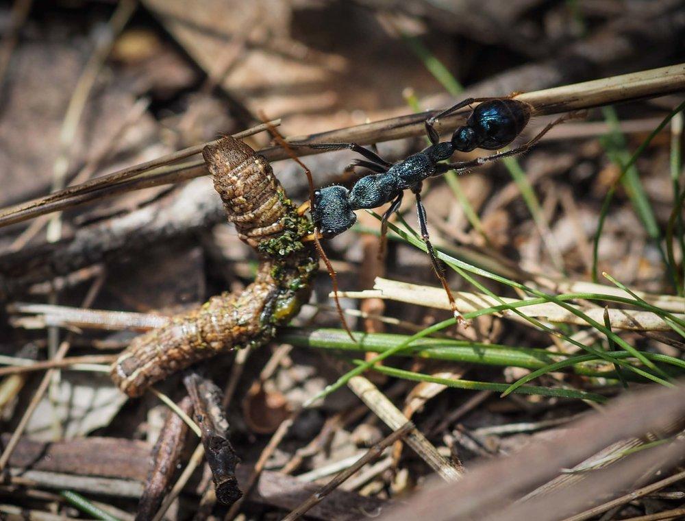 Black Bull Ant