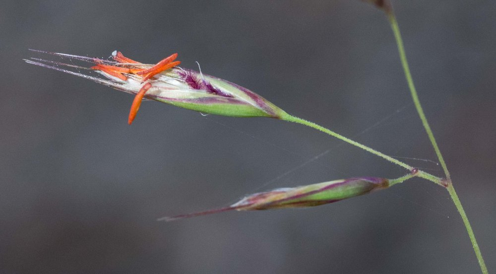 Redanther Wallaby Grass