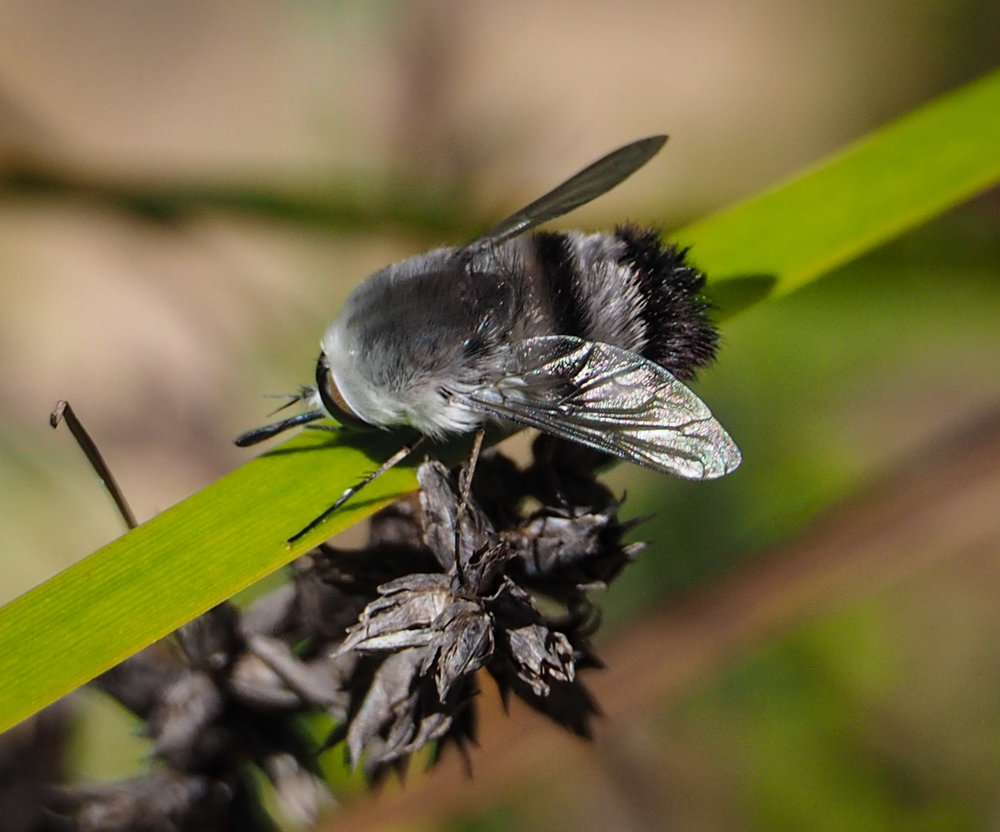 Black & Grey Bee Fly