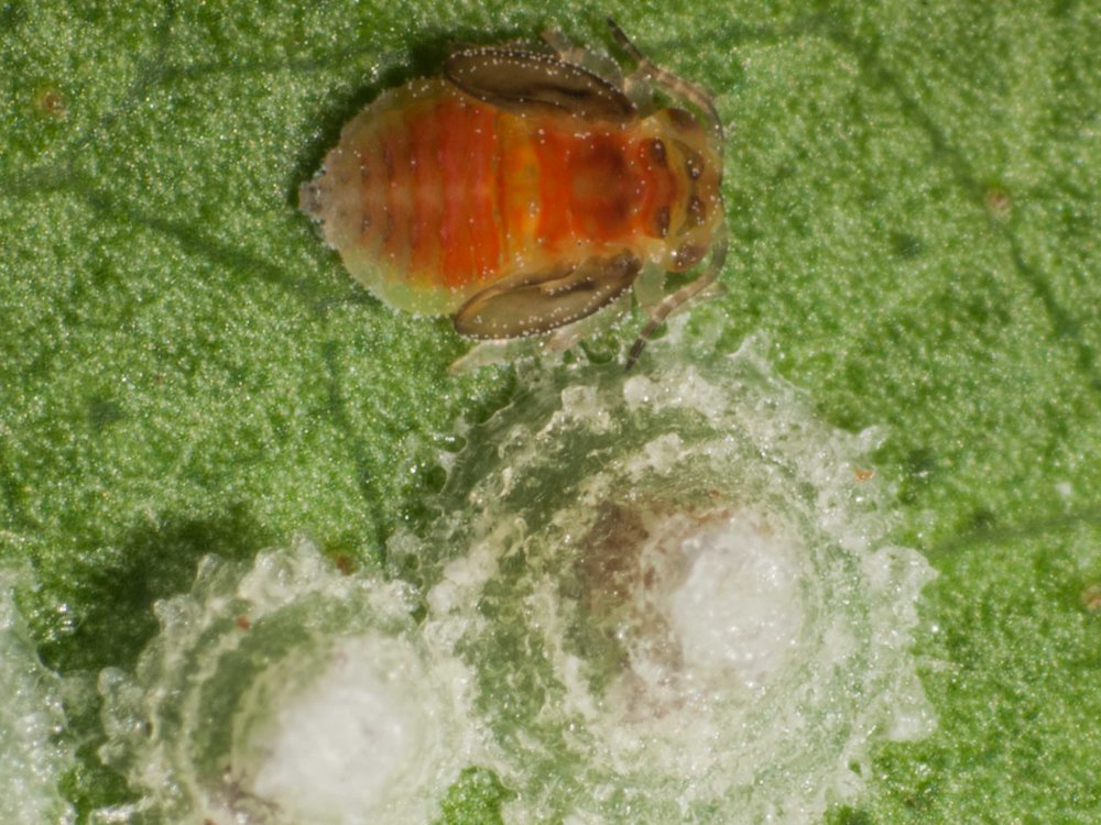 Psyllid and lerps