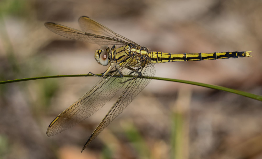 Blue Skimmer (female)