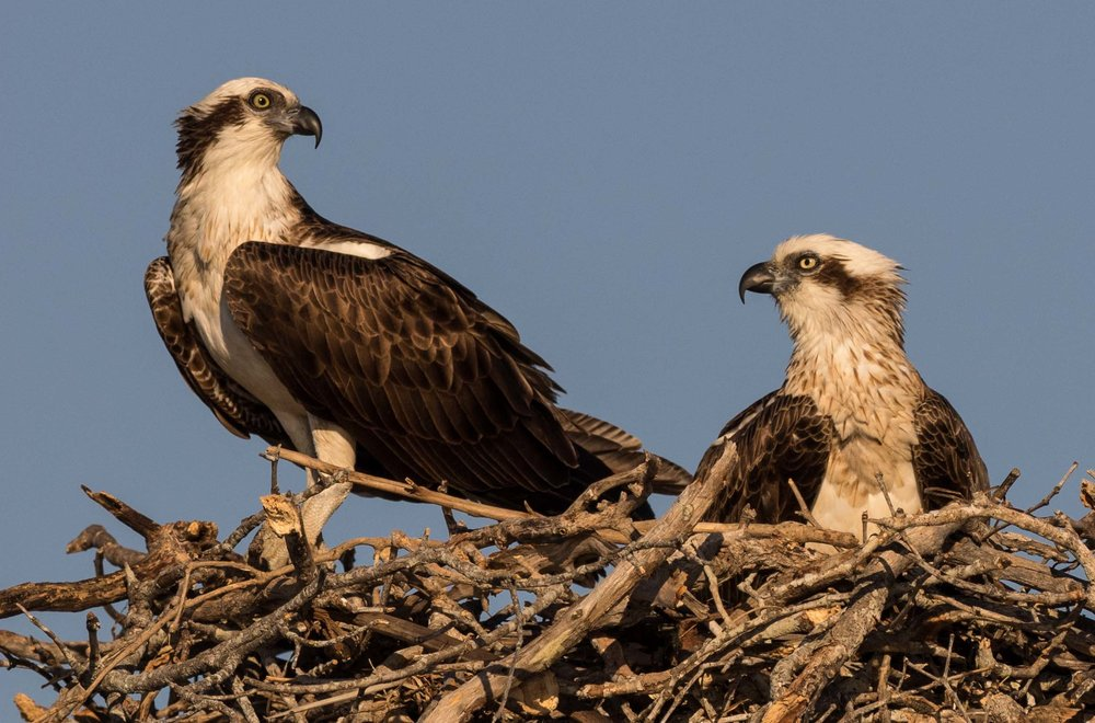 Pandion cristatus  - Eastern Osprey. The larger female is on the right, with her distinctive, brown-tinged necklace.