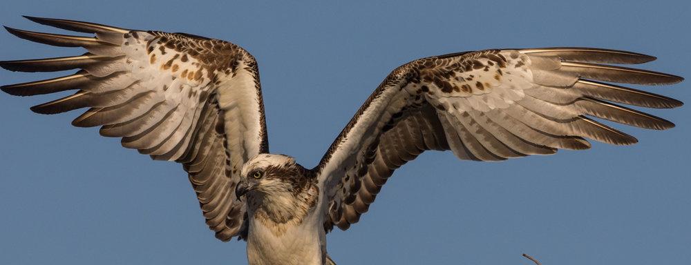 Eastern Osprey (adult male)