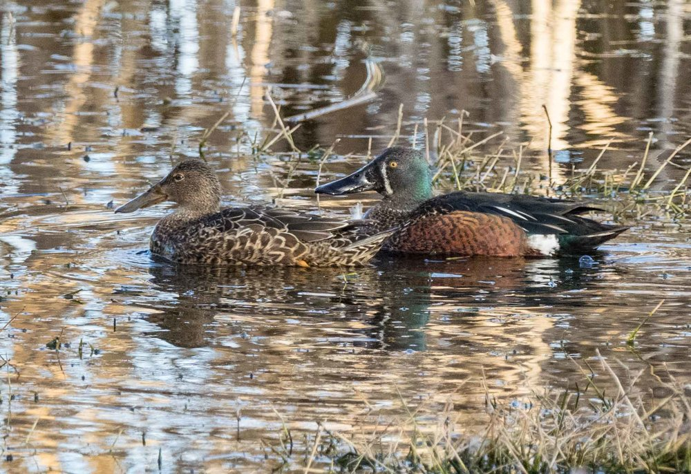 Australasian Shoveler ( Anas rhynchotis ) - the female (left) is superficially similar to a Grey Teal ... until you see the beak! The male here is in breeding plumage.