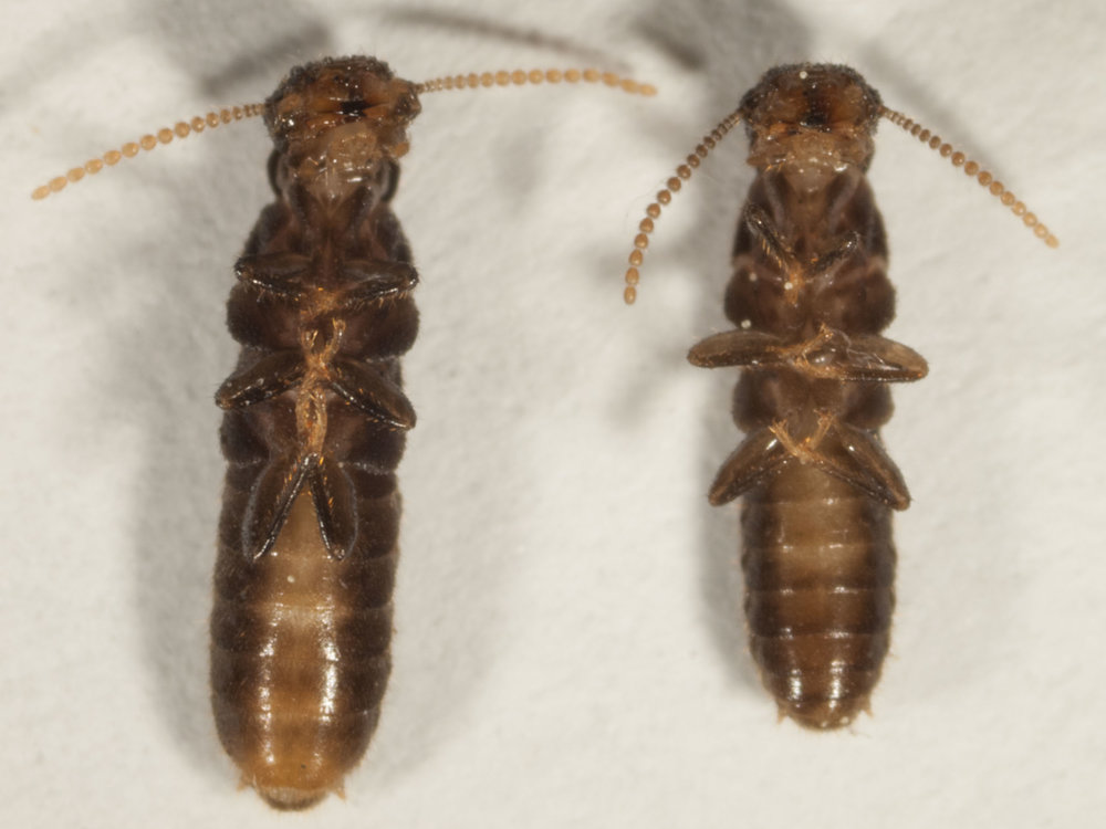 "Coptotermes frenchi  - the female (left) is obviously larger and has a distinctive pattern of abdominal segments. [ ""no termite died in the making of this photo""  ... they're just chilled so they'll stay still long enough for a shot!]"