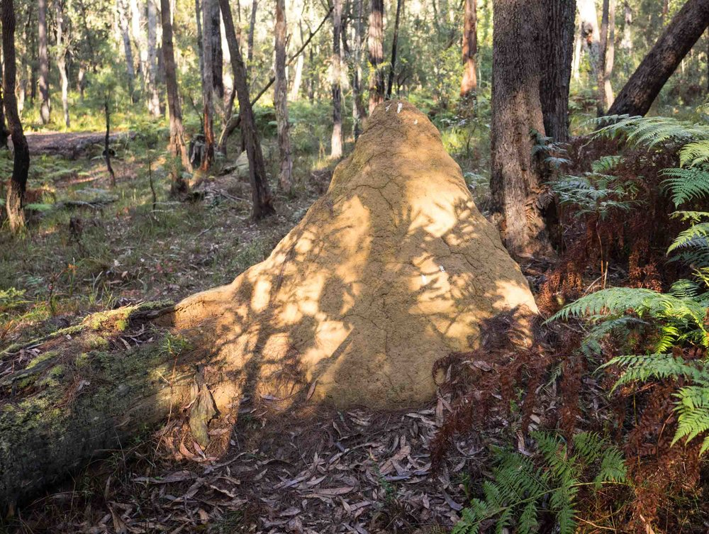 This is the only termite mound within our 5 hectare site. It is old - it hasn't obviously changed in size in the 14 years since we arrived.