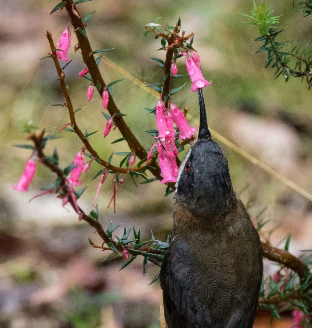 Eastern Spinebill specialise in taking nectar from tubular flowers such as  Epacris .