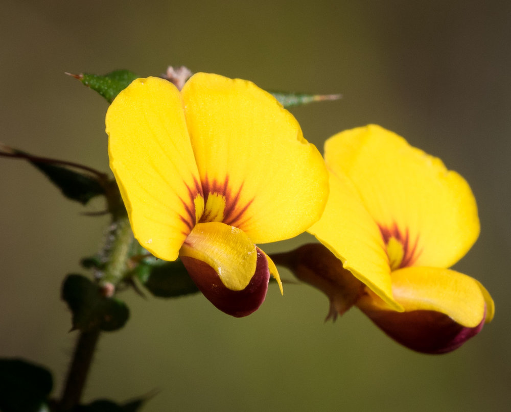 Bossiaea cordifolia