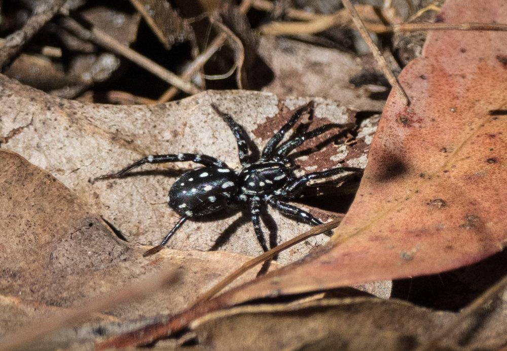 White-spotted Swift Spider ( Nyssus albopunctatus )