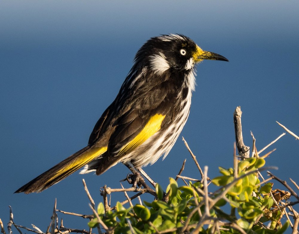 New Holland Honeyeater ( Phylidonyris novaehollandiae ) - adult