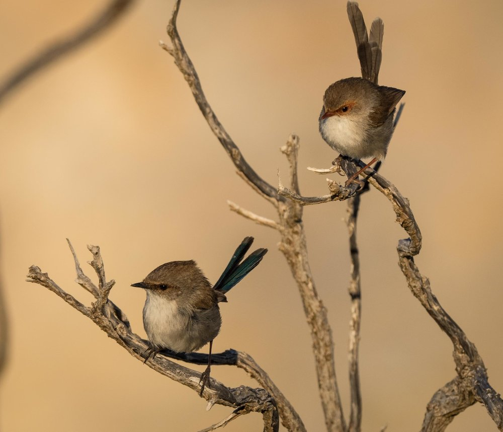 Superb Fairy-wrens