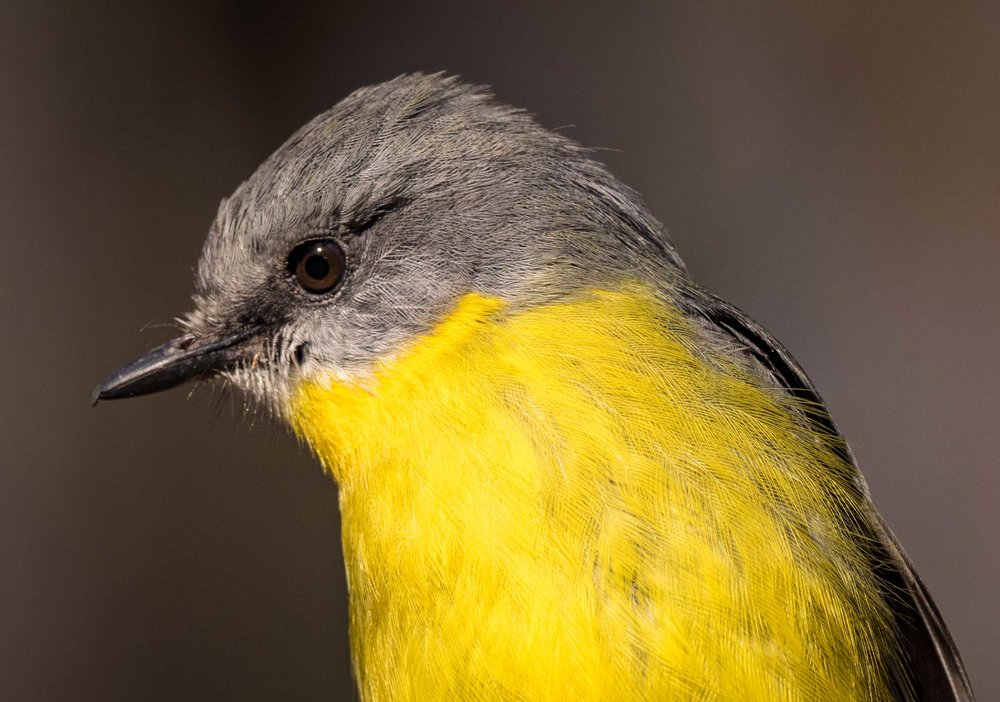 Eastern Yellow Robin ( Eopsaltria australis ) - adult, feeding alongside Grey Fantails.