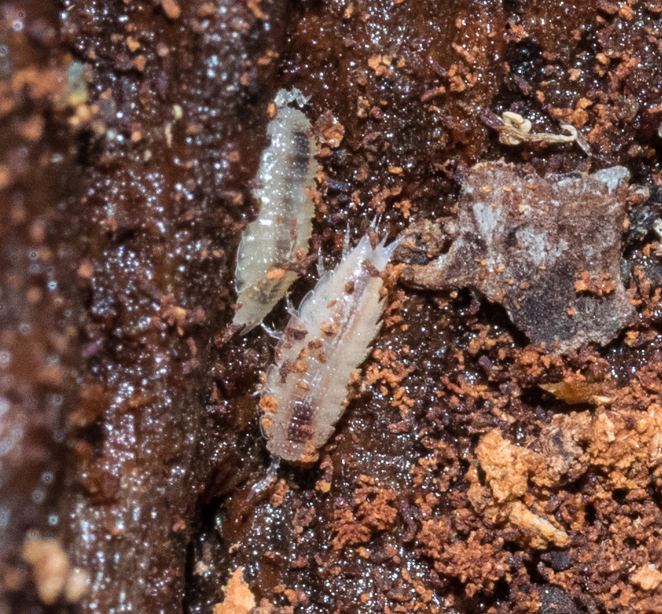 A pair of slaters (Family Platyarthridae). These isopod crustaceans are less than 3mm long - small enough to fit in the narrow spaces in the log.