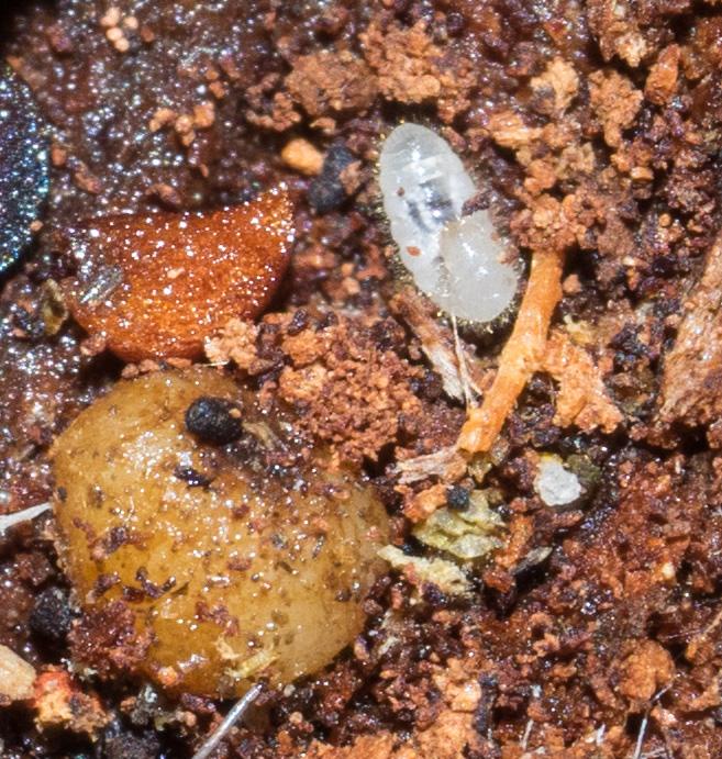 Closeup of an ant larva.