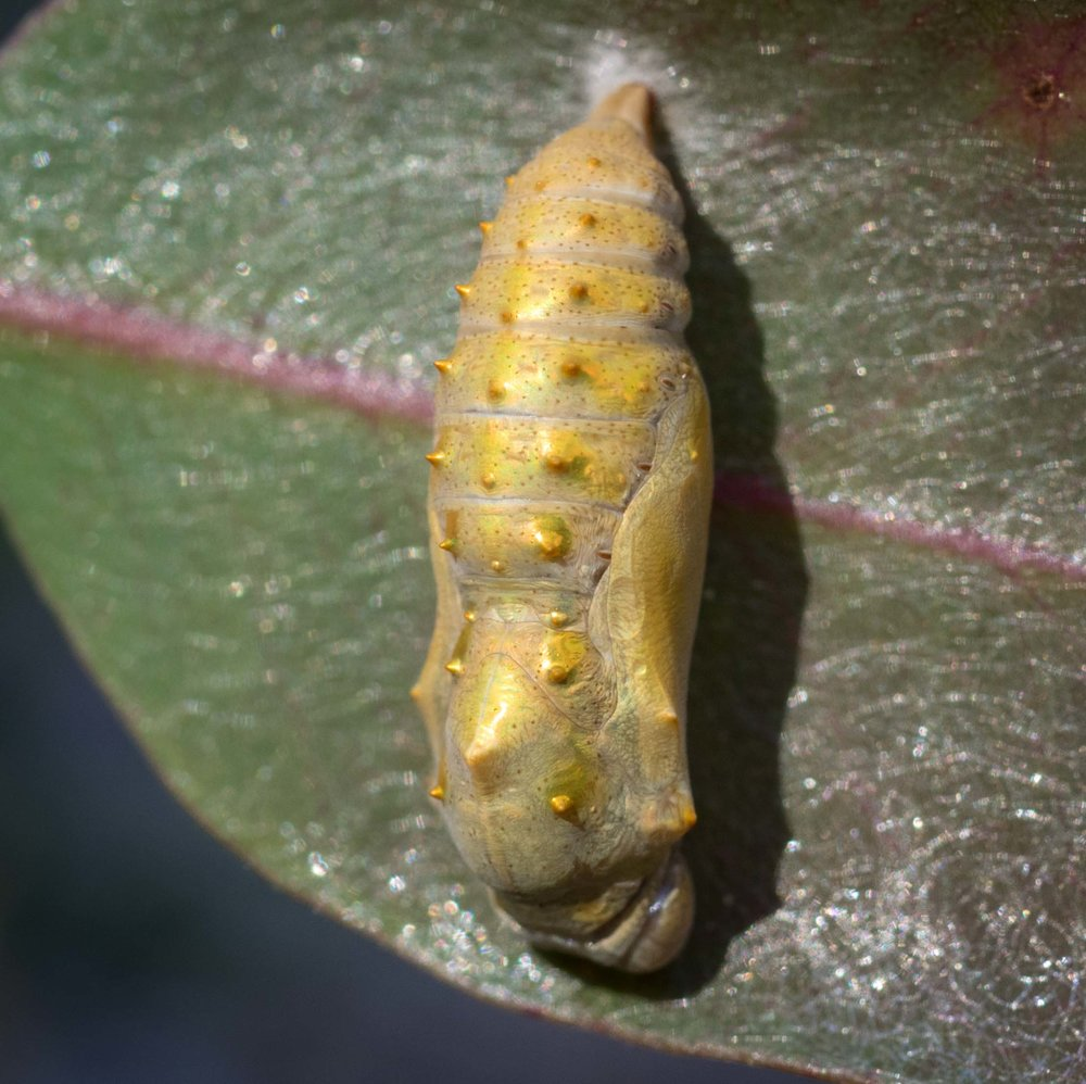Pupa discovered 16th January