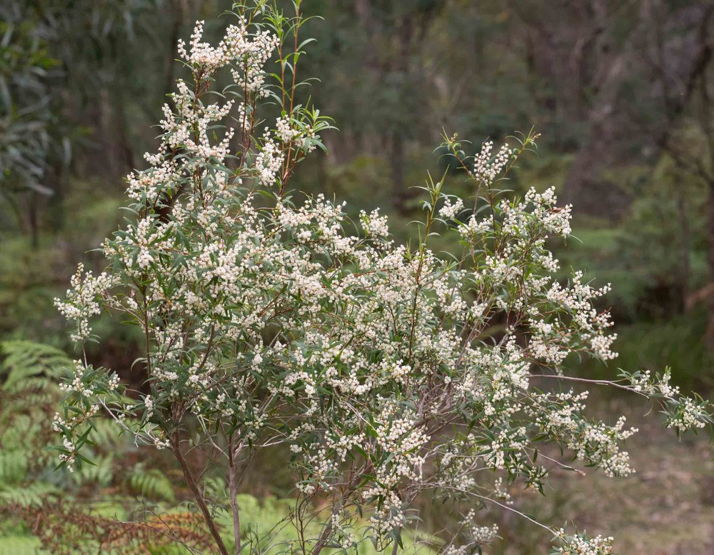 Lance Beard-heath ( Leucopogon affinis )