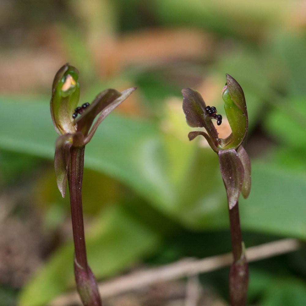 Dainty Bird Orchid ( Chiloglottis trapeziformis )