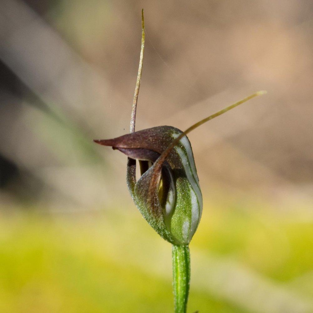 Maroonhood ( Pterostylis pedunculata )