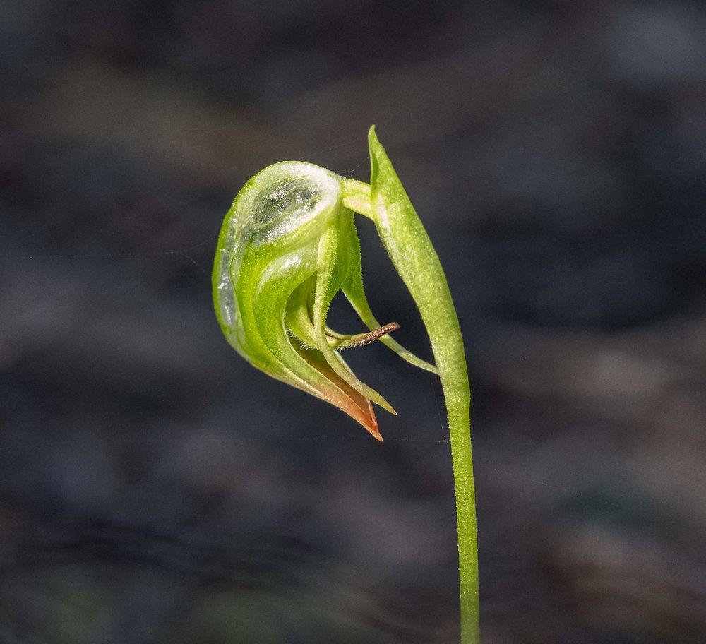 Nodding Greenhood ( Pterostylis nutans )