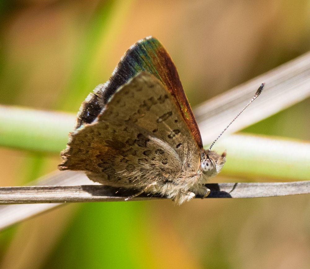 Bright Copper ( Paralucia aurifer )
