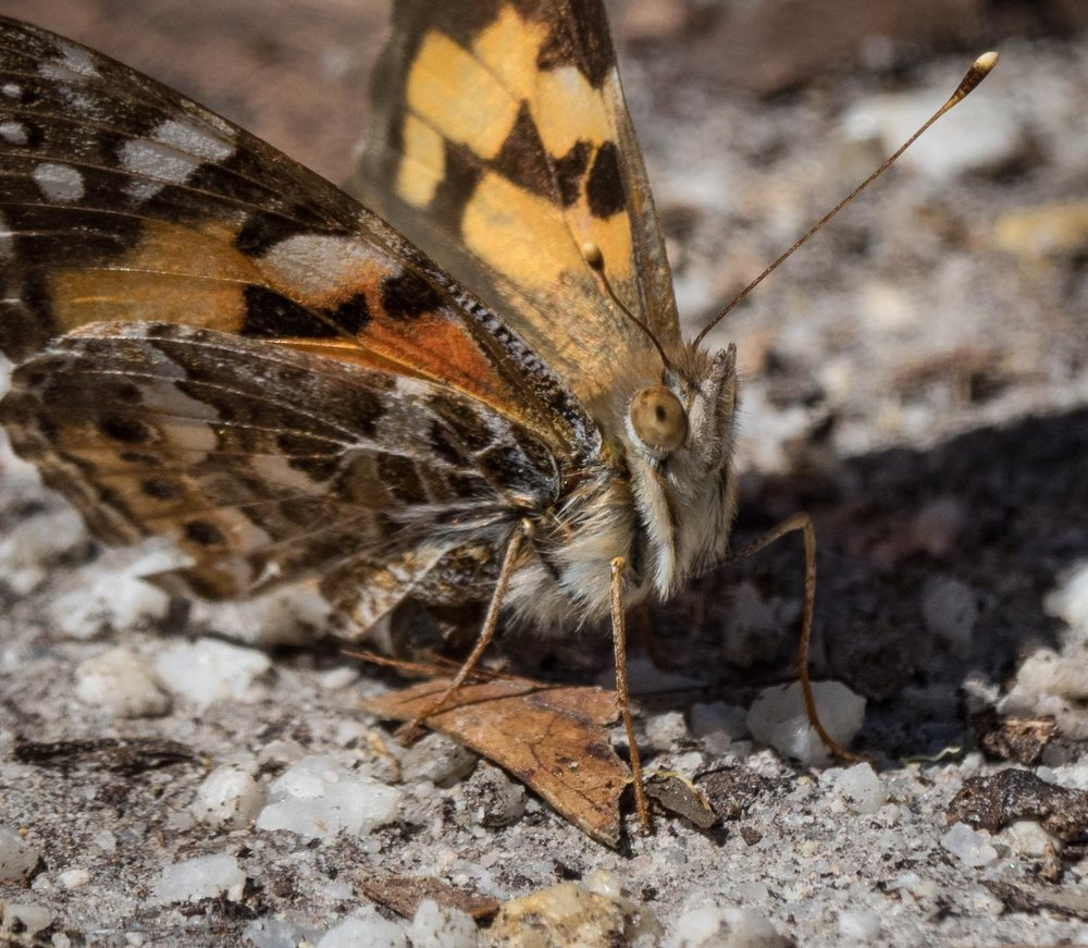 Australian Painted Lady ( Vanessa kershawi )