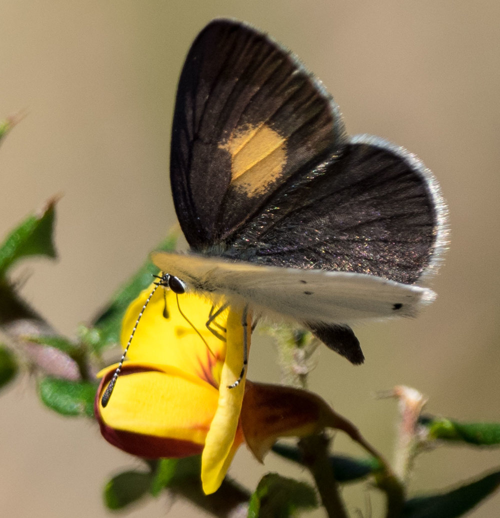 Yellow-spotted Blue  (Candalides xanthospilos)