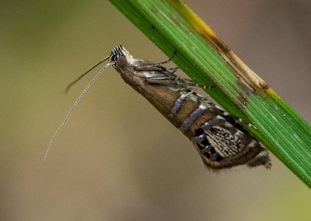 Glyphipterix cometophora