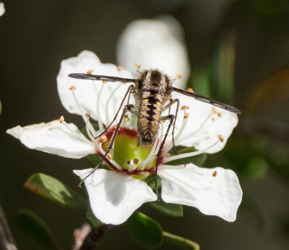Bee Fly,   Aleucosia sp.  – DIPTERA (Bombyliidae)